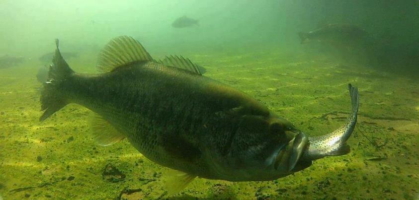 What do Bass Eat