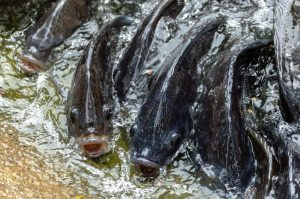 Tilapia Fishing