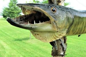 Can You Eat Muskie Fish?