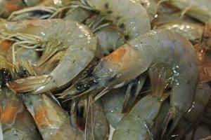 Catfishing With Shrimp